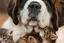 Beautiful Saint Bernard with kittens
