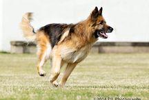 German Shepherd dog / German Shepherd dog photoshoot