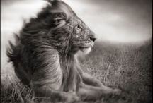 Nick Brandt / British born Nick Brant works exclusively photographing in Africa documenting animals and places at the mercy of being destroyed by man.