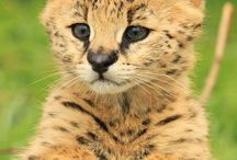 Serval cats/ house cats