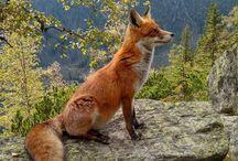 Fox Anatomy