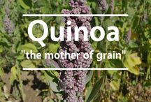"""Peru / Village Harvest travels high in the Andes to harvest our golden and red quinoa. People refer to quinoa as a """"super grain"""" since it's one of the only plant sources of a healthy balance of essential amino acids. That said, each of these nicknames is slightly off. While quinoa is extraordinarily healthy, it is actually a seed—not a grain—from a plant related to spinach, beets and Swiss chard."""