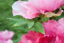 Çiçekler güller