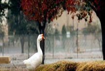 my ducks&geese