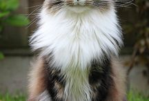Cat - Maine Coon
