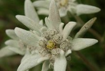 EDELWEISS FLOWER -                                             Symbol of undying love                                            and freedom from oppression,