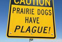 Prairie Dogs, Fleas, Ferrets, and Plague