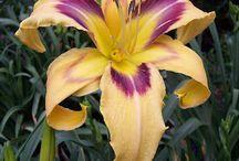 Daylilies!  / by Jenni Eisenhardt