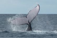 Whale watching in Panama / Beautiful pictures of beautiful animals!