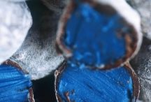Hierba pastel / Woad / Isatis tinctoria