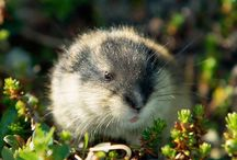 Arctic: Lemming