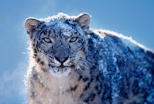 Snow Leopard / The most beautiful and mysterious animal in the world