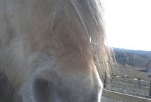 Freyr♡ / Fjord horse, born June 12. 1997