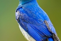 Blue Birds of Happiness!!