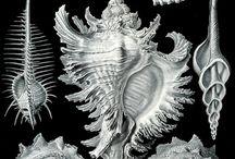 Ernst Haeckel / Kunstformen der Natur