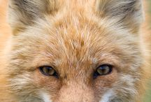 Fuchs/Fox