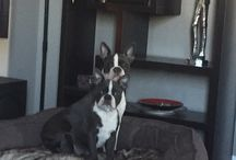 Shay and smokie our blue bostons / My blue Boston Terriers