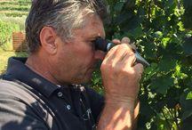 Vendemmia 2015 / De druivenoogst 2015 van onze producenten.