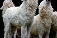 Wolf / ... for we shall always be one; Nighteyes and me...