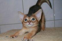 Наши абиссинские  кошки / Фото наших  питомцев