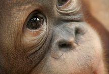 Beautiful Orangutans