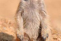 surikata