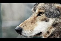 filmes - Wolves of Yellowstone