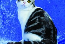 AMERICAN SHORTHAIR / by Cat Fanciers Association