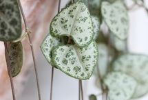 rostliny - Ceropegia