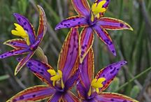 flowers - wild orchids