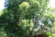 Deciduous Trees & Shrubs / We have a large offering of Deciduous trees and large shrubs at Treeland. Checkout the images below and click on the images to learn more about them and to see additional images. All are approved for North Texas.