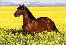 Tapety - zwierzęta - konie