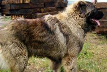 owczarki kaukaskie / Owczarki kaukaskie z naszej hodowli