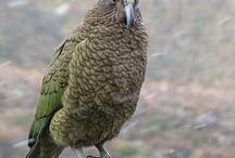 Aotearoa Birds