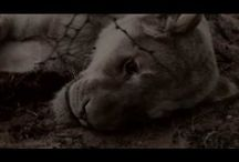 Canned Lion Hunting / This is a collection of articles on the topic of canned lion hunting.