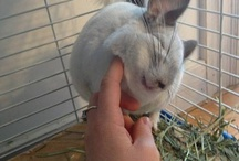Chinchillas / All kinds of stuff relating to cute and fuzzy chinchillas. These pets are awesome!