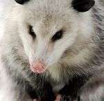 #Opossum Removal in Apopka