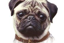 Mopsy ( Pugs)