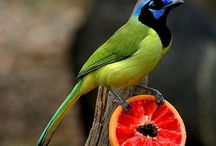Green Jay / My favorite bird, found in south TX. / by Sandra Hazen