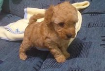 My tiny puppy Mia / toy poodle