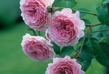 1 rózsa