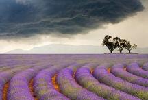lance's lavender dreams / by Katherine Mw