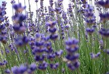 λεβάντα -lavender