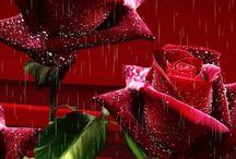 GIF Trandafiri,flori