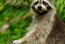 Raccoon - mosómaci