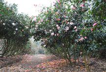 Les Camélias / Au coeur du Camélia, découvrez plus d'une centaines de variétés produites au sein de notre pépinière.