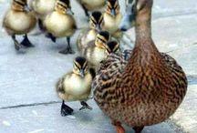 Do the Ducks