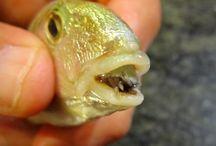 Tongue Eating Parasite & Fish