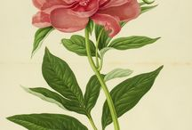 Botanical drawings, watercolours & prints