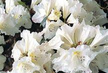 Secret garden rhododren azalia hydrangea camelia